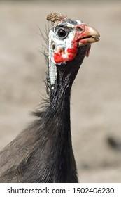 Guinea Fowl Closeup facing camera with natural background