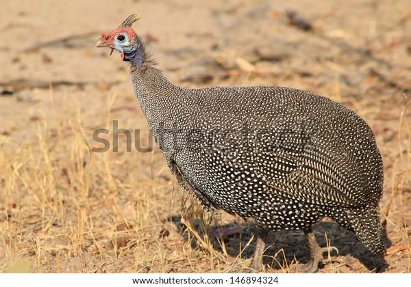 guinea fowl games download