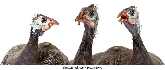guinea fowl - Numida meleagris f. domestica