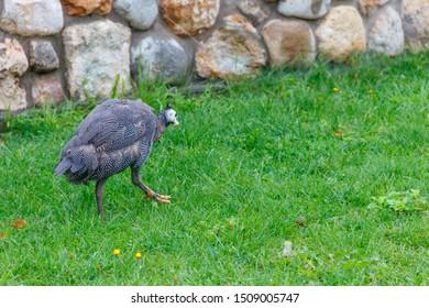 Guinea fowl on green grass at farmyard