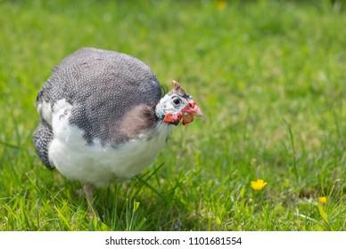 Guinea fowl strutting around on grass