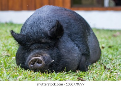 Guinea hog laying in grass