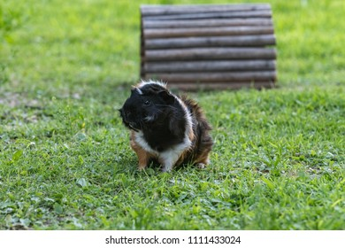 guinea pig alone