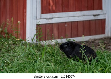 guinea pig by red barn