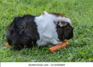 guinea pig with carrot