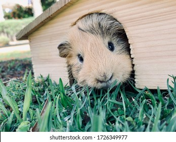A guinea pig or cavy sitting in wooden small house on the grass