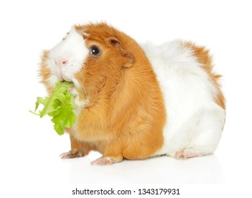 Guinea pig chewing salad on white background