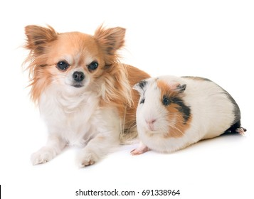 guinea pig and chihuahua in front of white background