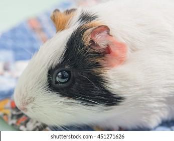 Guinea pig close up view.