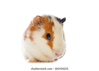 guinea pig closeup isolated over white background