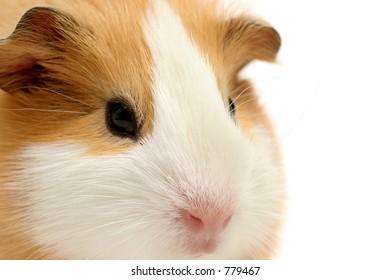 guinea pig - closeup shot over white