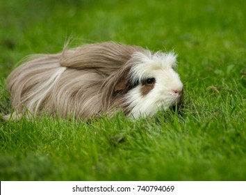 Guinea pig coronet, longhaired with a crest, outdoors in grass.