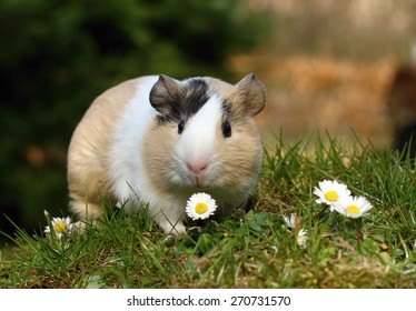 Guinea pig with daisy