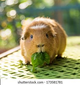 guinea pig eating basil