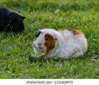 guinea pig eating brocoli