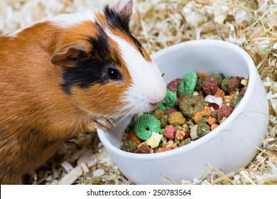 Guinea pig eating food. Closeup