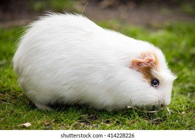 Guinea pig eating some grass