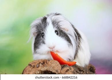 Guinea pig eating vegetables indoor