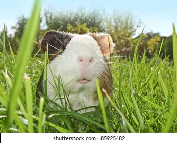 guinea pig in the garden