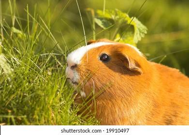 guinea pig in grass