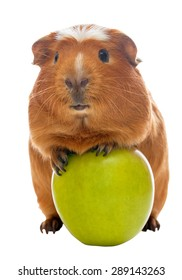 guinea pig and the green apple isolated over white