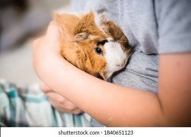 Guinea pig in hands of child. Pet's muzzle close-up. child holds tame domestic rodent in arms. Soft focus