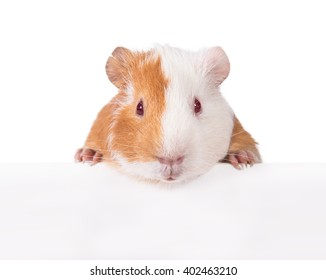 Guinea pig hanging its paws over a white banner