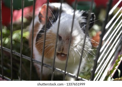 Guinea pig interesting and at the same time beautiful creatures