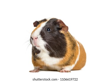 Guinea Pig, isolated