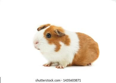 Guinea pig isolated on white background. Pets. Animal isolated