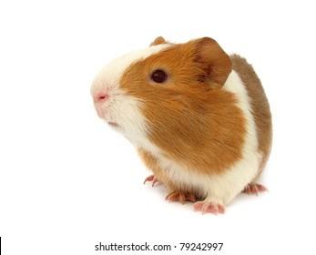Guinea pig little pet rodent