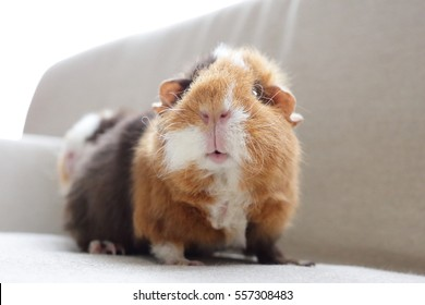Guinea pig look at me