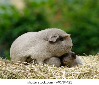 Guinea pig mom, slate, with pups in straw outdoors.