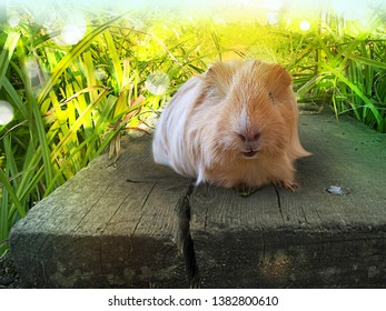 Guinea pig in the nature
