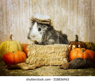 A guinea pig on a bale of hay with a cute hat on, with pumpkins.