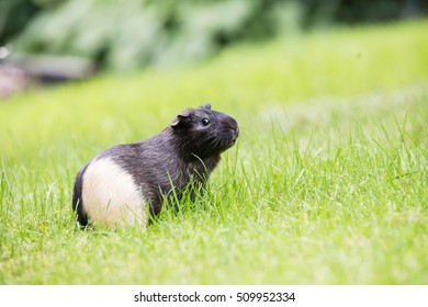 Guinea pig on the grass in garden with green colors