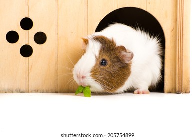 Guinea Pig on seamless white background