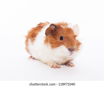Guinea pig on the white background