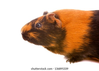 guinea pig on a white background it is isolated