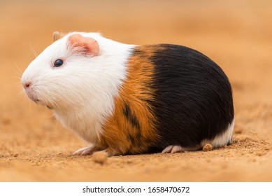A guinea pig on yellow land