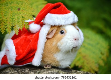Guinea Pig outdoor in summer dressed as Santa Claus. Kids will go crazy over this.