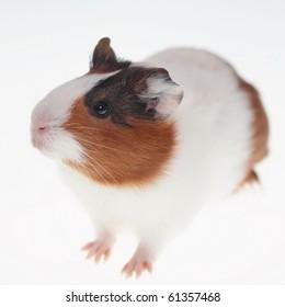 Guinea pig over white 1