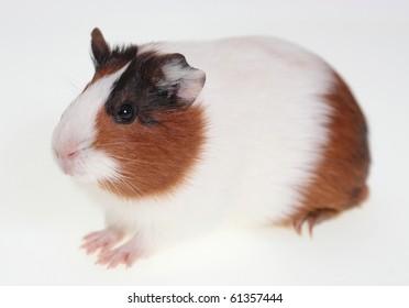 Guinea pig over white 2
