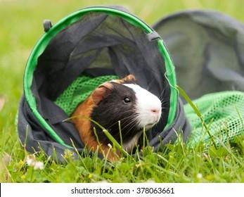 Guinea pig pet after run through tunnel