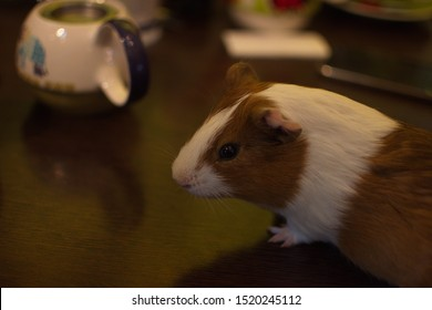 Guinea Pig photographed in zoo cafe Budapest, Hungary
