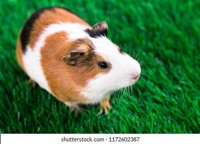 Guinea pig photography