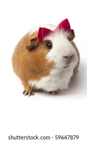 Guinea Pig with a pink bow on her head on white background