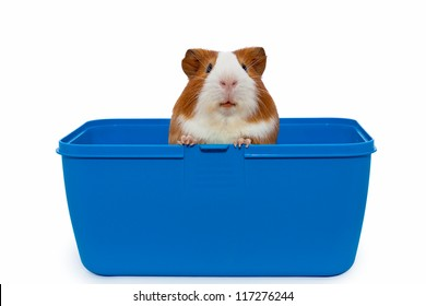 guinea pig in a plastic animal carry cage