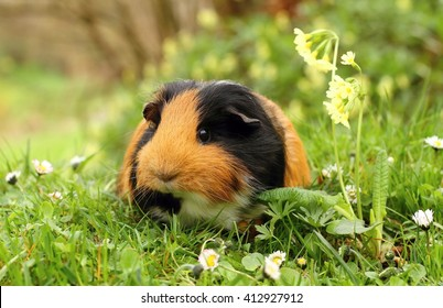 Guinea pig with primula