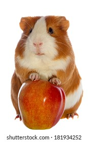 guinea pig and red apple isolated over white